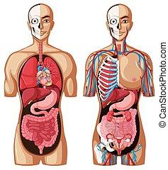 anatomia, modello, differente, sistemi, umano