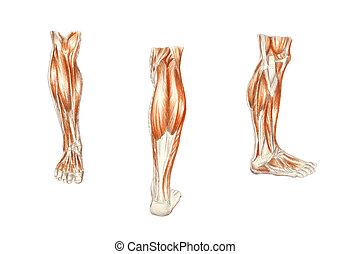anatomia, muscoli, -, gamba umana