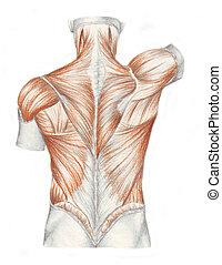 anatomia, muscoli, -, indietro, umano