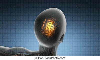 anatomia, nauka, mózg, ludzki, skandować