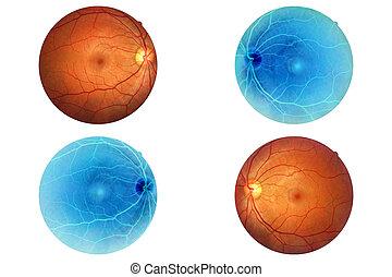 anatomia, occhio, ottico, retina, disco, arteria umana,...