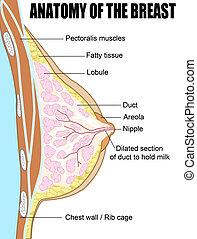 anatomia, od, przedimek określony przed rzeczownikami, pierś