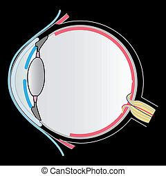 anatomia, oko