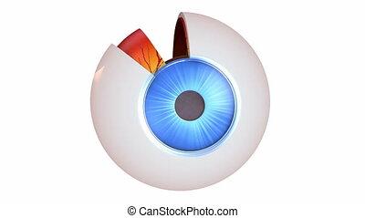 anatomia, oko, -, wewnętrzny, budowa