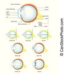 anatomia, olho, apartamento, isolado, ilustração, vetorial,...