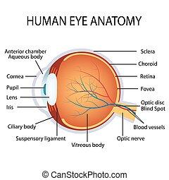 anatomia, olho, human
