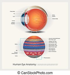 anatomia, olho, normal, ilustração, lente, vetorial, human