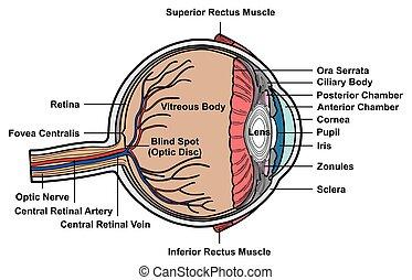 anatomia, olho, seção, crucifixos, diagrama, human