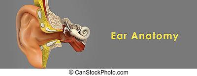 anatomia, orecchio