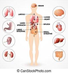 anatomia, organi, umano