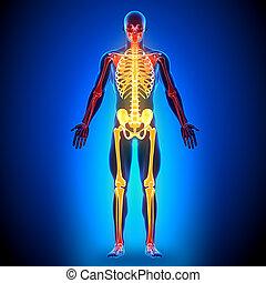 anatomia, ossos, cheio, -, esqueleto