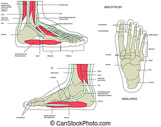 anatomia, pé, perna humana