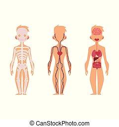 anatomia, pessoas, vetorial, órgãos, interno, estrutura