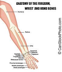 anatomia, pulso, ossos, antebraço, mão