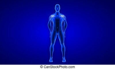 anatomia, -, render, ciało, pętla, ból, 3d, animation., seamless, tło, plecy, skandować, błękitny, ludzki
