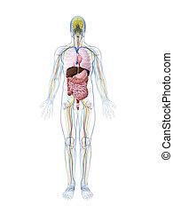 anatomia, reso, maschio, illustrazione, 3d