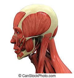 anatomia, rosto humano