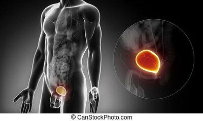anatomia, samiec, pęcherz, rentgenowski
