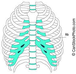 anatomia, scheletro umano, torso