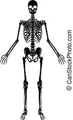 anatomia, scheletro, umano