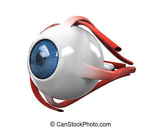anatomia, sekcja, oko, ludzki