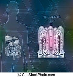 anatomia, silueta, nutrientes, organs., forro, digestivo, human, absorção, intestinal