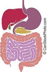 anatomia, sistema, diagrama, digestivo, human, área