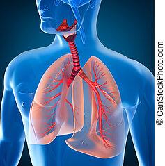 anatomia, sistema respiratorio, umano