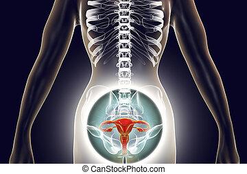 anatomia, sistema riproduttivo femminile