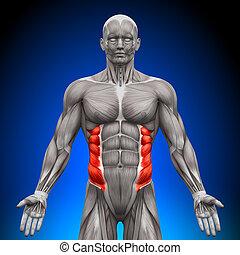 anatomia, skośny, mięśnie, -, zewnętrzny