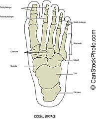 anatomia, stopa, ludzka noga
