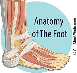 anatomia, stopa, wektor, ilustracja