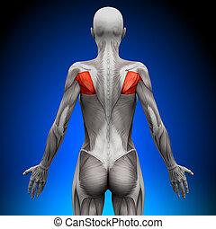 anatomia, teres, músculos, -, femininas