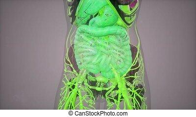 anatomia umana, illustrazione, con, tutto, organi