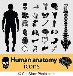 anatomia, umano, icone