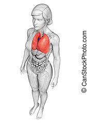 anatomia, umano, polmoni