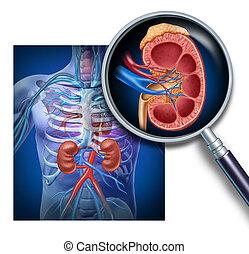 anatomia, umano, rene