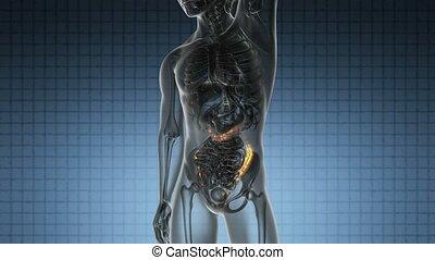 anatomia, varredura, de, human, cólon