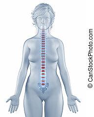 anatomia, vertebra, isolato, posizione, donna