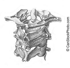anatomia, vertebre, cervicale, -, umano