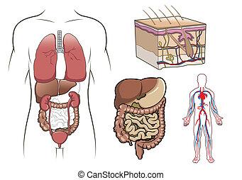 anatomia, vettore, umano