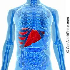 anatomia, vista, fígado, human, raio x