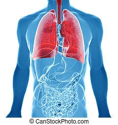 anatomia, vista,  human, pulmões, Raio X