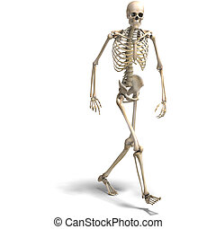 anatomical correct male skeleton. 3D rendering with clipping...