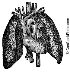 Anatomical Heart and Lung Engraving