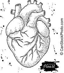 Anatomical human heart. Engraved detailed illustration.