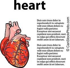 anatomical human heart