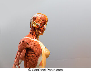 Anatomical model of female human body