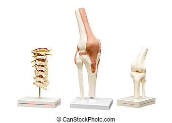 Anatomical models of the joints. Isolate on white background