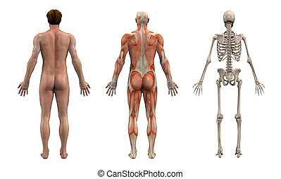 Anatomical Overlays - Adult Male - Back View -- These images will line line up exactly, and can be used as overlays to study anatomy.